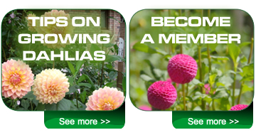 grow dahlias and become a member