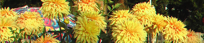 NSW and ACT dahlias